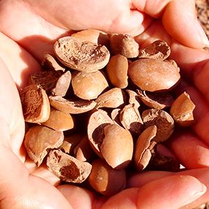 アルガン幹細胞(アルガニアスピノサ芽細胞エキス) 世界で最も古い樹木種である希少なモロッコ産アルガンツリーから抽出したエキス